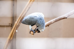 巴西鸟 免版税库存照片