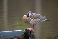 巴西鸭子或巴西小野鸭 库存图片
