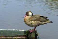 巴西鸭子或巴西小野鸭 免版税库存图片