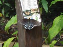 西洋蜡梅Swallowtail蝴蝶 免版税库存照片