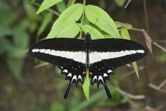 巴西蝴蝶 免版税库存图片