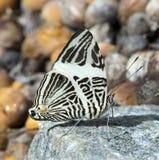 巴西蝴蝶Colobura dirce 免版税库存照片