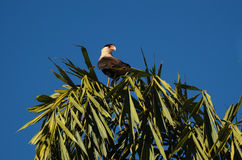 巴西carcara (长腿兀鹰plancus) 免版税库存照片
