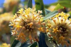 西Ghat印度黄色花  库存图片
