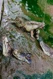 要喂养许多鳄鱼 免版税库存图片