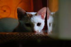 要睡觉与反射的猫 免版税库存图片
