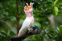 主要米歇尔美冠鹦鹉 免版税库存图片