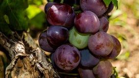 主要葡萄 免版税库存照片