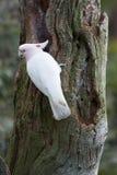 主要mitchell的美冠鹦鹉 免版税库存图片