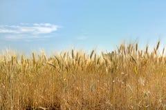 覆盖夏天麦子 库存照片