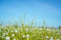 覆盖湖本质天空 开花通配 白色草花 库存图片