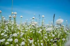 覆盖湖本质天空 开花通配 白色草花 库存照片