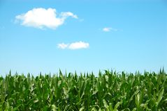 覆盖玉米天空 库存图片