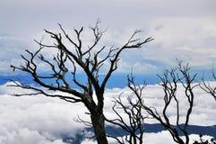 覆盖空白松的天空的结构树 免版税图库摄影