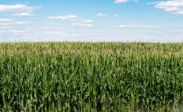 覆盖麦地照片天空 图库摄影