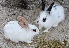 见面为午餐的两只兔子 库存照片