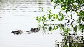 见面在沼泽地的2条鳄鱼 库存图片