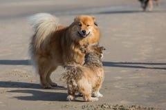 见面在海滩的两条狗 免版税库存图片