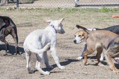 见面在狗公园的狗 免版税库存照片