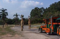 观光的火车去围绕长颈鹿夫妇在徒步旅行队公园 免版税库存图片
