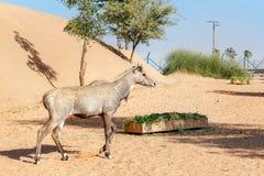 观光traiKulan在一个露天笼子迪拜徒步旅行队Parkn在迪拜徒步旅行队公园等候乘客 免版税库存图片