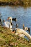 观察和喂养天鹅和鸭子在池塘的银行 免版税库存图片