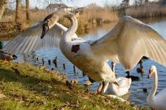 观察和喂养天鹅和鸭子在池塘的银行 图库摄影