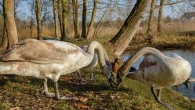 观察和喂养天鹅和鸭子在池塘的银行 库存图片