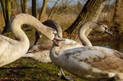 观察和喂养天鹅和鸭子在池塘的银行 库存照片