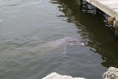 观察海豚 免版税库存照片