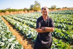观点的一个中年人用收获沙拉圆白菜菜的横渡的手自温室 农业 图库摄影
