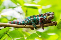 观点的一个绿色变色蜥蜴在动物园里 库存图片