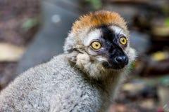 观点的一只狐猴在动物园里 库存照片