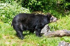 观点的一头戴了眼镜熊在动物园里 免版税库存图片