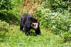 观点的一头戴了眼镜熊在动物园里 库存照片