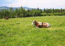 观点的在山草甸/生态种田的母牛 库存照片