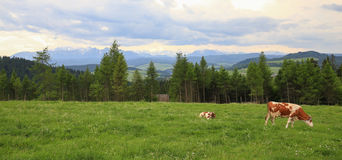 观点的在山草甸/生态种田的母牛 免版税库存图片