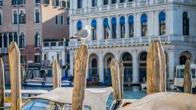 观点的在木树桩的鸥与在背景的建筑学在威尼斯,意大利 免版税图库摄影
