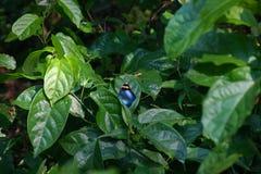 观点的在植物叶子的母索夫斯林务员蝴蝶 库存照片