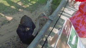 观点的在篱芭附近的驼鸟在动物园里 股票录像