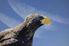 观点的在蓝天一边的一只老鹰与白色云彩 免版税库存照片