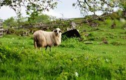 观点的在绿色领域的一只山绵羊 免版税库存照片