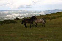 观点的对海岸线的Dartmoor小马 免版税库存图片