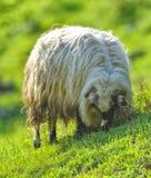观点的山绵羊 库存图片