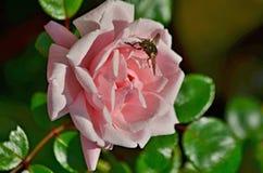 观点的开花的玫瑰,下奥地利州 免版税图库摄影