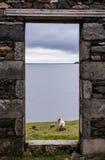 观点的海、牧场地和羊羔从老废墟的一个石门 免版税库存图片