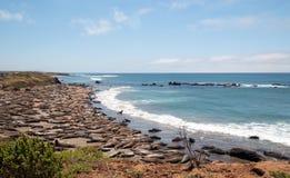 观点的海象殖民地在点在圣西梅昂北部的Piedras Blancas加利福尼亚中央海岸的  免版税库存照片