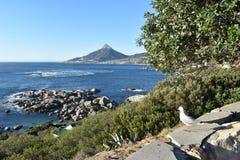 观点的狮子朝向与海鸥在前面在开普敦,南非 免版税库存照片