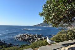 观点的狮子朝向与海鸥在前面在开普敦,南非 库存照片