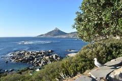 观点的狮子朝向与海鸥在前面在开普敦,南非 免版税图库摄影